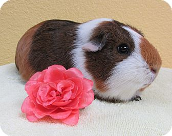 Guinea Pig for adoption in Benbrook, Texas - Cheese