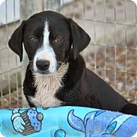 Adopt A Pet :: *Pam Macy - PENDING - Westport, CT