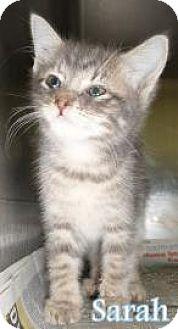 Domestic Longhair Kitten for adoption in Georgetown, South Carolina - Sarah