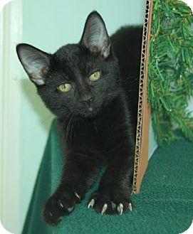 Domestic Shorthair Cat for adoption in Bradenton, Florida - Moe