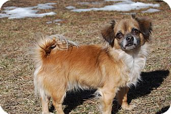Chihuahua Mix Dog for adoption in Ridgway, Colorado - Cha Cha