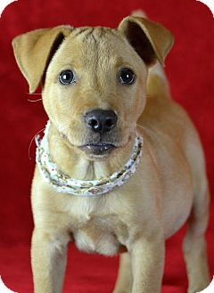 Labrador Retriever Mix Puppy for adoption in Jackson, Mississippi - Christian