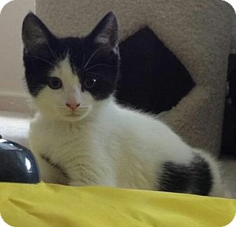 Domestic Shorthair Kitten for adoption in Cherry Hill, New Jersey - Sylvia