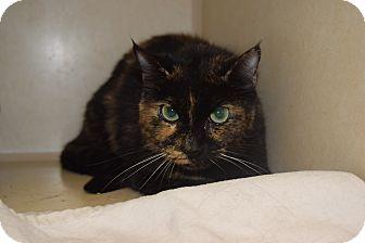 Domestic Shorthair Cat for adoption in Bucyrus, Ohio - Sea Turtle