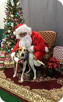 English (Redtick) Coonhound Mix Dog for adoption in Red Lion, Pennsylvania - ELVIS