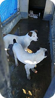 Pointer Mix Puppy for adoption in Heber City, Utah - Dolly