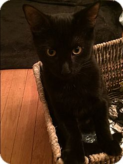 Domestic Shorthair Kitten for adoption in West Orange, New Jersey - Milly