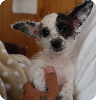 Terrier (Unknown Type, Small) Mix Puppy for adoption in San Pablo, California - MIA PUP4