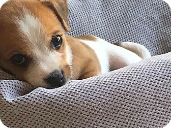 Parson Russell Terrier Mix Puppy for adoption in Newport Beach, California - Theo