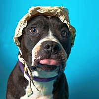 English Bulldog/Pit Bull Terrier Mix Dog for adoption in Los Angeles, California - URGENT-Lily-VIDEO