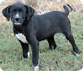 Border Collie/Labrador Retriever Mix Puppy for adoption in Foster, Rhode Island - Lucy