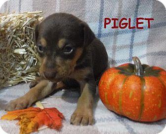 Terrier (Unknown Type, Small)/Miniature Pinscher Mix Puppy for adoption in Batesville, Arkansas - Piglet