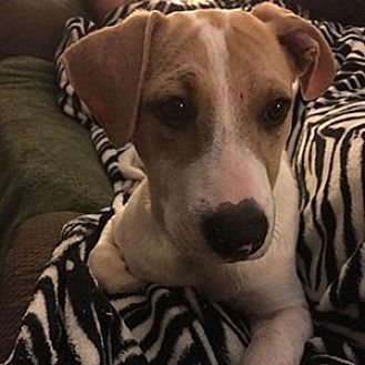 Boxer Mix Puppy for adoption in Garner, North Carolina - Olympic Gold 'Katie'