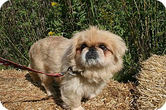 Pekingese Mix Dog for adoption in Pataskala, Ohio - Augie (adoption pending)