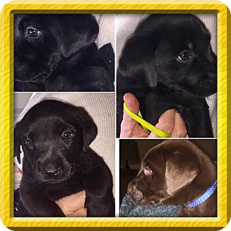 Labrador Retriever/Flat-Coated Retriever Mix Puppy for adoption in KITTERY, Maine - THE AWESOME EIGHT