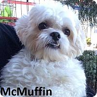 Adopt A Pet :: McMuffin - Lake Forest, CA