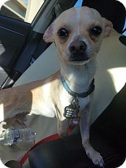 Chihuahua Dog for adoption in Goodyear, Arizona - Cruz