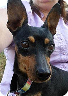 Dachshund/Miniature Pinscher Mix Dog for adoption in Tacoma, Washington - Ms. Apple