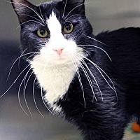 Adopt A Pet :: Tux - Paris, ME