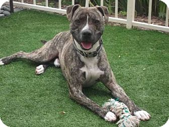 Pit Bull Terrier Mix Dog for adoption in Vista, California - Maxwell