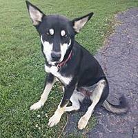 Adopt A Pet :: Hank 2 - Hillside, IL