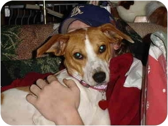 Beagle/Terrier (Unknown Type, Small) Mix Dog for adoption in kennebunkport, Maine - Angel-ADOPTED!