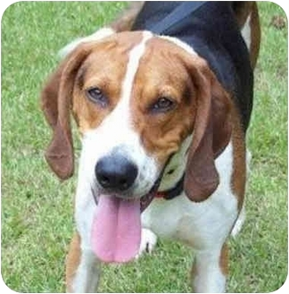 Treeing Walker Coonhound Mix Dog for adoption in McCormick, South Carolina - Sir Walter Riley