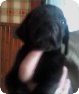 Labrador Retriever Mix Puppy for adoption in Millerton, Pennsylvania - Lab mix