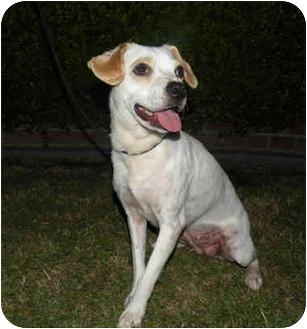 Beagle/Terrier (Unknown Type, Small) Mix Dog for adoption in Richmond, California - Millie
