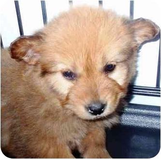 German Shepherd Dog/Labrador Retriever Mix Puppy for adoption in Morehead City, North Carolina - Azalea