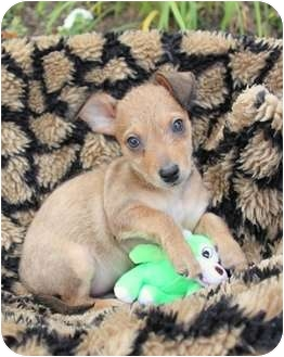 Border Terrier/Terrier (Unknown Type, Small) Mix Puppy for adoption in Newport Beach, California - ALVIN