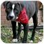 Photo 2 - Labrador Retriever/American Bulldog Mix Dog for adoption in Painesville, Ohio - OREO