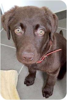 Labrador Retriever Mix Puppy for adoption in Palatine, Illinois - Milla