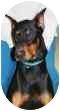 Doberman Pinscher Dog for adoption in Arlington, Virginia - Judge