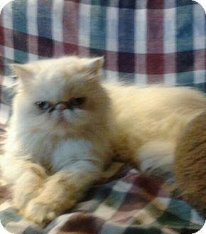 Persian Cat for adoption in Columbus, Ohio - Miss Daisy