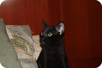 Domestic Shorthair Kitten for adoption in Little Falls, New Jersey - Lincoln (LE)