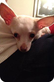 Chihuahua Dog for adoption in Armada, Michigan - Buckwheat