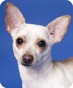 Chihuahua Dog for adoption in Chicago, Illinois - Donna