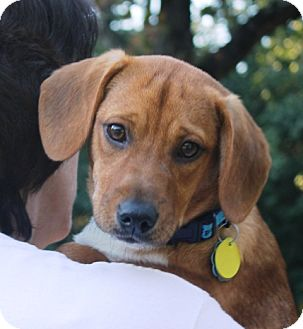 Dachshund/Labrador Retriever Mix Puppy for adoption in Marietta, Georgia - Mancy