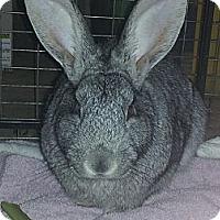Adopt A Pet :: Sherlock - Little Rock, AR