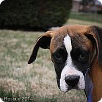 Adopt A Pet :: Gavin - Broomfield, CO