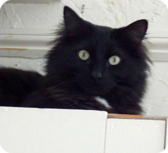 Domestic Longhair Cat for adoption in Webster, Massachusetts - Lucky Charms