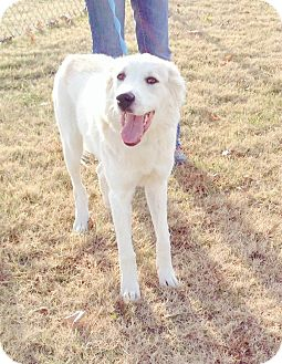 Great Pyrenees Mix Dog for adoption in Tulsa, Oklahoma - Molly  *Adopted