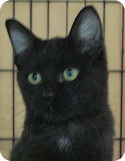 Domestic Shorthair Kitten for adoption in Pueblo West, Colorado - Gerta