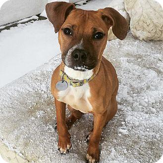 Boxer/Beagle Mix Puppy for adoption in Chicago, Illinois - Heidi