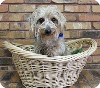 Silky Terrier Mix Dog for adoption in Benbrook, Texas - Dexter