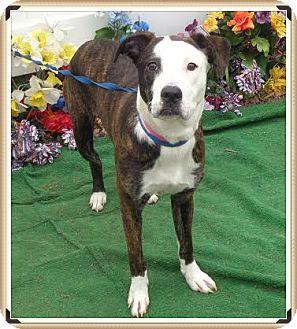 American Pit Bull Terrier Mix Dog for adoption in Marietta, Georgia - JULIE - reclaimed