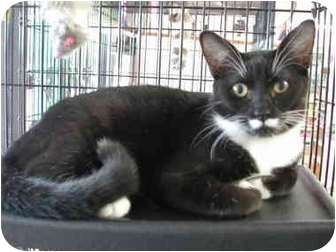 Domestic Shorthair Kitten for adoption in Fort Lauderdale, Florida - Piston