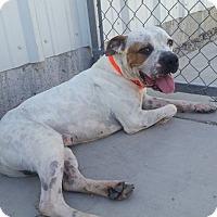 Adopt A Pet :: Bo - Las Vegas, NV
