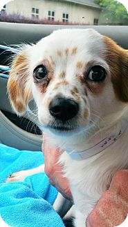 Papillon/Chihuahua Mix Dog for adoption in Lebanon, Connecticut - Punkin